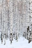Winter birch forest, january — Stock Photo