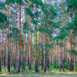 Coniferous forest — Stock Photo #29854637