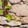 Green branch of grapes on the background wall of rough stone. — Stock Photo