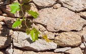 Green branch of grapes on the background wall of rough stone. — Stok fotoğraf
