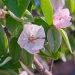 Постер, плакат: Soft pink apple blossom among green leaves Spring