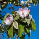 Постер, плакат: Soft pink apple blossom among green leaves and blue sky Spring