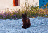 Greek cat - black cat sitting on a  sidewalk next to a flower, c — Стоковое фото