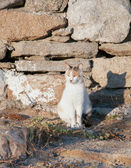 Greek cats - cat sits near a stone wall in the sun. — Stock Photo