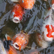 Carp fish. Feeding. — Stock Photo