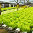 Hydroponic vegetable farm — Stock Photo #13985614