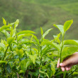Stock Photo: Teplantation
