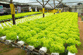 Hydroponic vegetable farm — Foto Stock