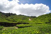 Herbata plantation — Zdjęcie stockowe