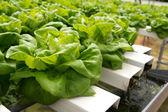 Hydroponicznych warzyw — Zdjęcie stockowe