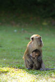 Monkey breastfeed her baby — Stock Photo