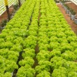 Hydroponic vegetable farm - Stock Photo