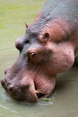 Hippo — Stock Photo