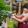 Child pluck strawberry — Stock Photo