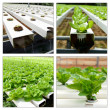 Hydroponic collage — Stock Photo