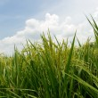Paddy field — Stockfoto