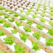 Stock Photo: Hydroponic vegetables