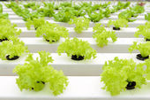 Hydroponic vegetables — Stock Photo