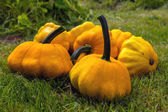 Pumpkin - Cucurbita pepo (Patissons) — Stock Photo