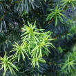 Yew tree (Taxus cuspidata). Young growing branch of Japanese yew — Stock Photo #31897991
