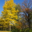Yellow foliage of aspen in autumn. — Stock Photo