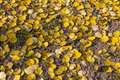 Dead yellow foliage of European aspen (Populus tremula) in autum — Stock Photo