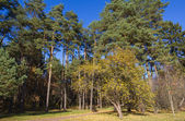 Park in autumn. Pine trees and apple tree. — Stock Photo