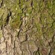 Fir tree bark texture. — Foto de Stock