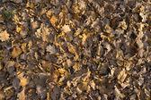 Oak and maple dead foliage in autumn. — Stock Photo