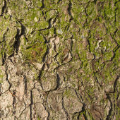 Fir tree bark texture. — Stock Photo