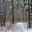 Stock Photo: Snow in piny and fir forest.
