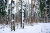 Snow in piny and fir forest. — Stock Photo