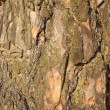Pine tree bark texture. — Stock Photo
