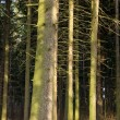 Stock Photo: Fir (Picea) forest. Old spruce trees.