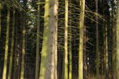 Fir (Picea) forest. Old spruce trees. — Stock Photo