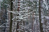 Snö i piny och fir skog. — Stockfoto