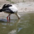 Stork in lake — Stock Video