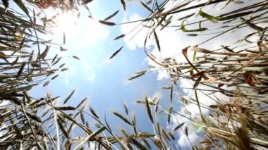 Wheat — Vídeo Stock