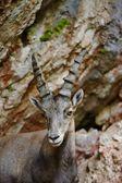 Alp dağ keçisi — Stok fotoğraf