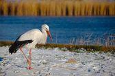 Cigüeña en invierno — Foto de Stock