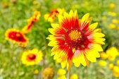Yellow marigold flower — Stock Photo