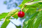 červené cherry — Stock fotografie