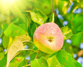 Ripe apple — Foto Stock