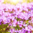 Purple summer flowers — Stock Photo