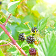 Stock Photo: Blackberry bush