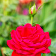 Red rose in garden — Stok Fotoğraf #13261607