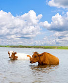 Cows is looking for coolness in the water of river — Stock Photo