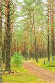 Weg in het dennenbos — Stockfoto