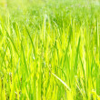 Green grass — Stockfoto #13691104