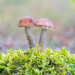 Foto Stock: Mushrooms in autumn forest